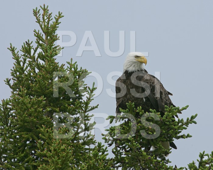 Bald Eagle in spruce