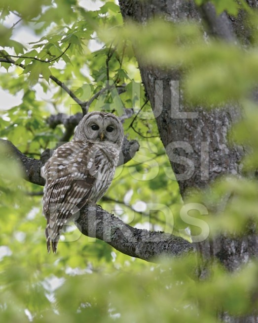 BARRED OWL IN FOREST WINDOW