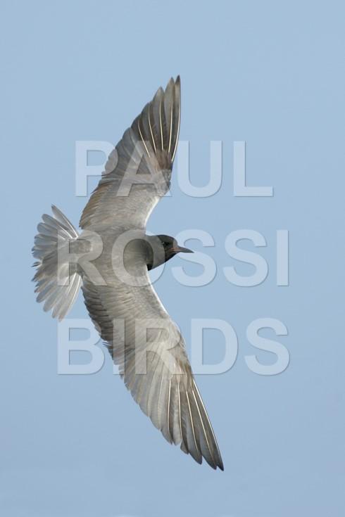 Black Tern Turning