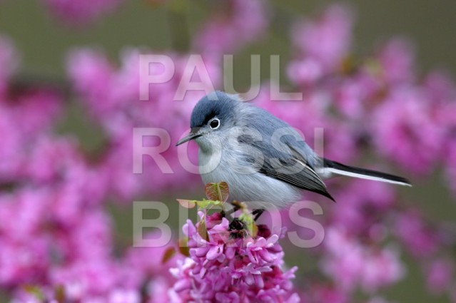 Blue Grey Gnatcatcher in redbud flowers