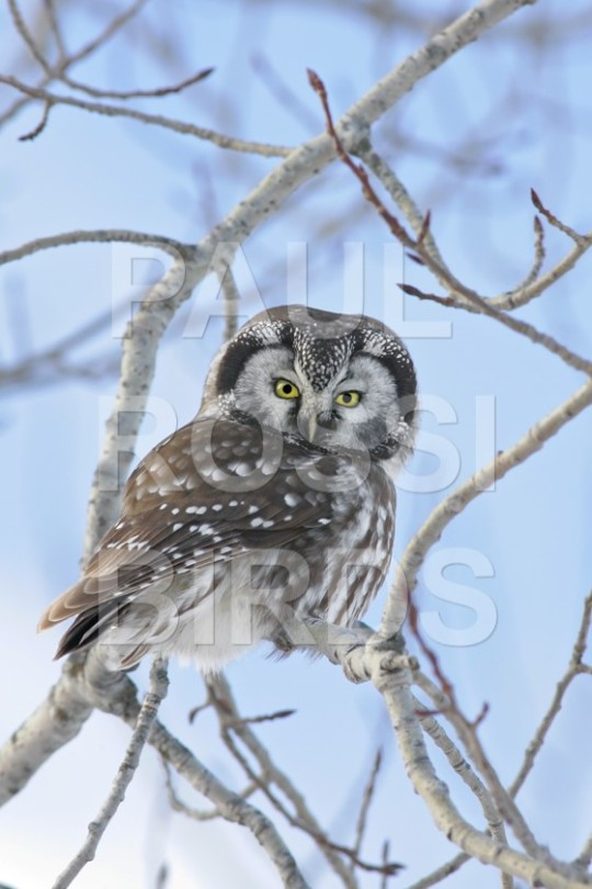 Boreal Owl day hunt