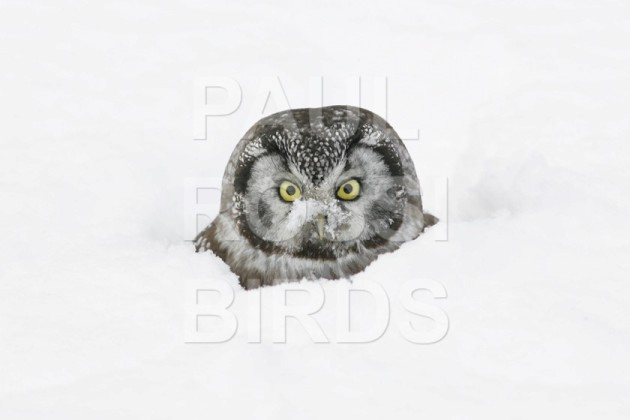 Boreal Owl in snow