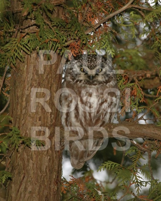 BOREAL OWL ROOST