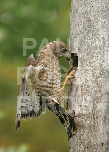 Broad-winged Hawk at Flicker nest