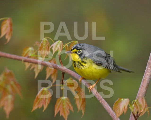 Canada Warbler in maple sapling