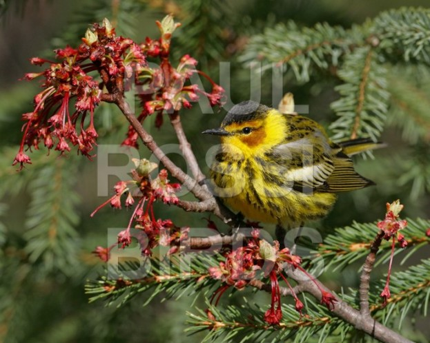 Cape May warbler in flowering maple