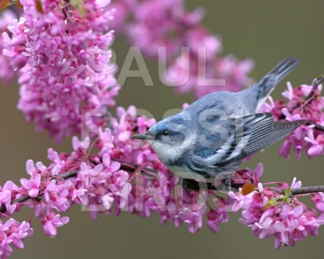 Cerulean warbler in redbud