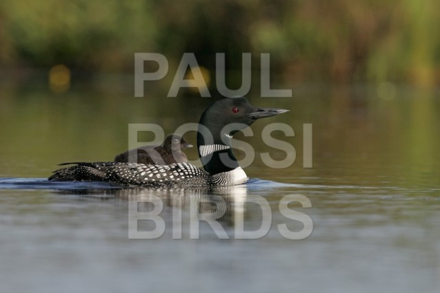 Common Loon with chick riding