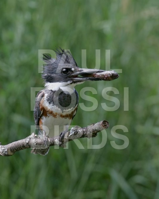 Female Belted Kingfisher with mudskipper