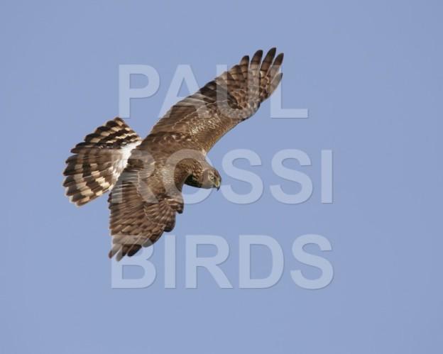 Female Northern Harrier dive