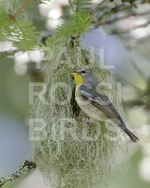 FEMALE NORTHERN PARULA AT NEST