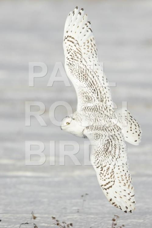 Female Snowy Owl Back Turn