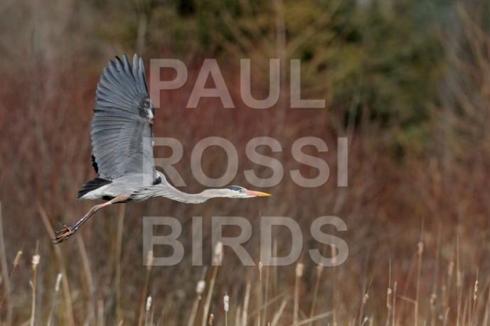 Great Blue Heron marsh flight