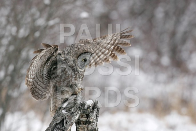 Great Grey Owl landing