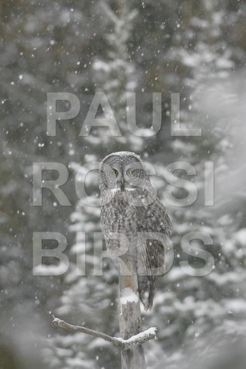 GREY GREY OWL SNOWY PERCH