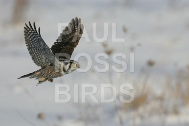 Hawk Owl flight with meadow vole