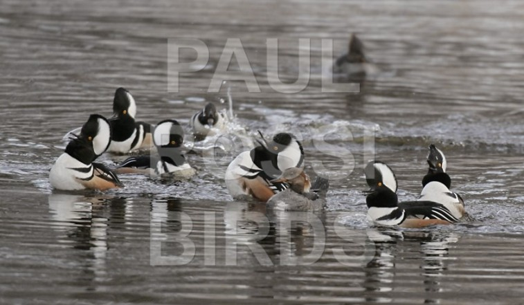 Hooded Merganser Group Courtship