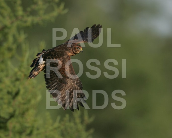 Immature Northern Harrier learning to fly
