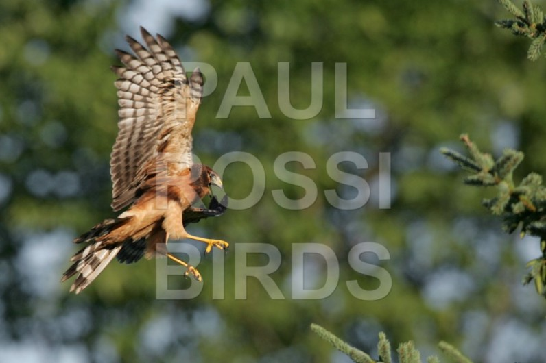 juvenile-northern-harrier-landing