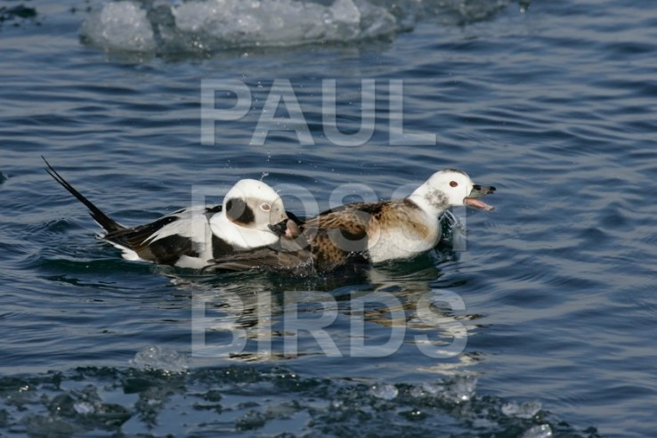 LONG-TAILED DUCK COURTSHIP 2