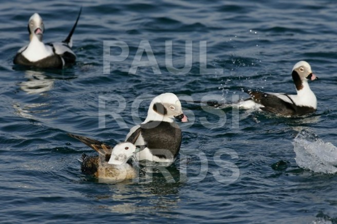LONG-TAILED DUCK COURTSHIP