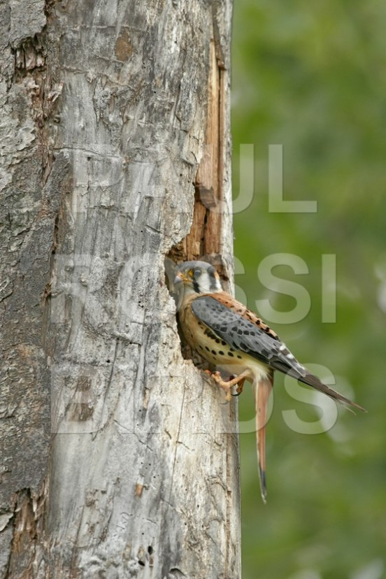 Male American Kestrel at nest #1