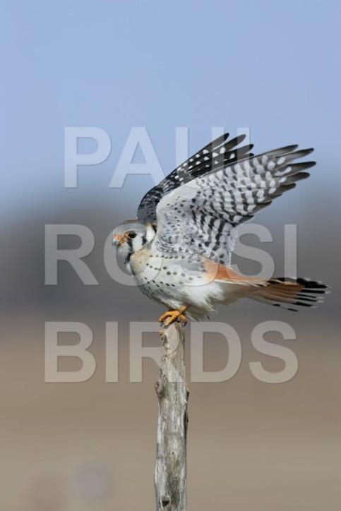 Male American Kestrel landing