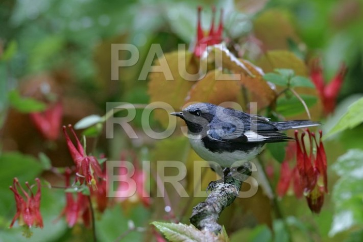 Male Black-throated Blue Warbler with Columbine