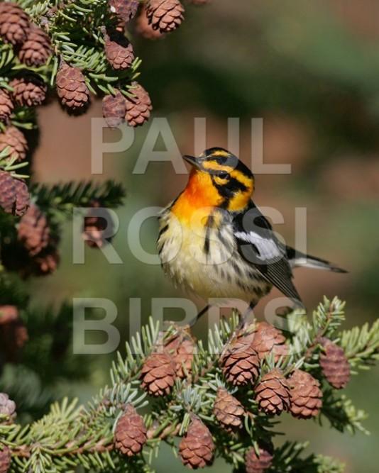 Male Blackburnian Warbler attitude