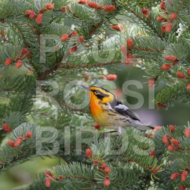 Male Blackburnian Warbler in spruce cage