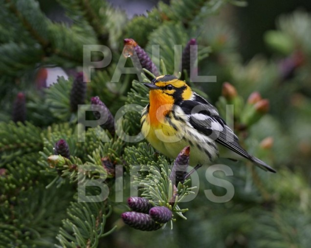Male Blackburnian Warbler in spruce