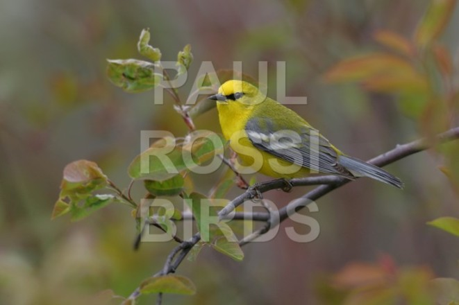 Male Blue-winged warbler downsized