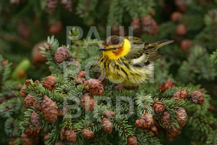 Male Cape May Warbler in Spruce cones