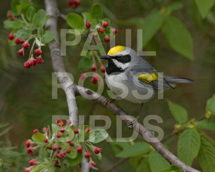 male-golden-winged-warbler-in-flowering-crabapple
