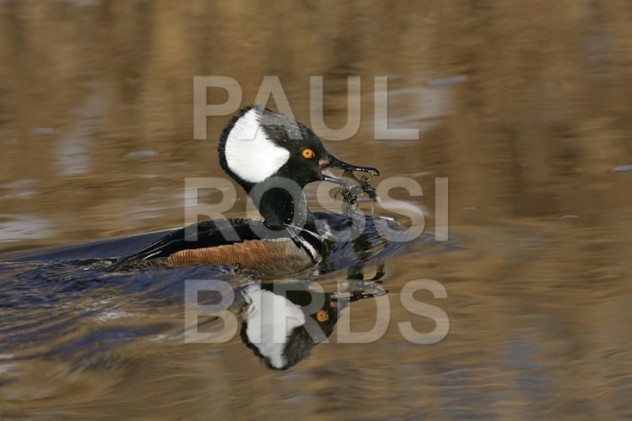 MALE HOODED MERGANSER WITH CRAYFISH