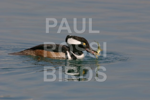Male Hooded Merganser with perch