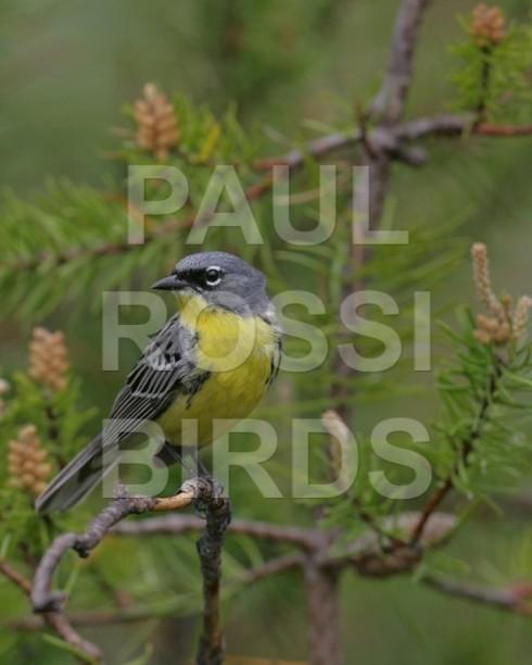 Male Kirtland Warbler