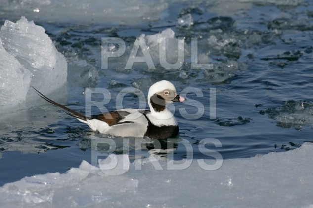 Male Long-tailed Duck in icy water