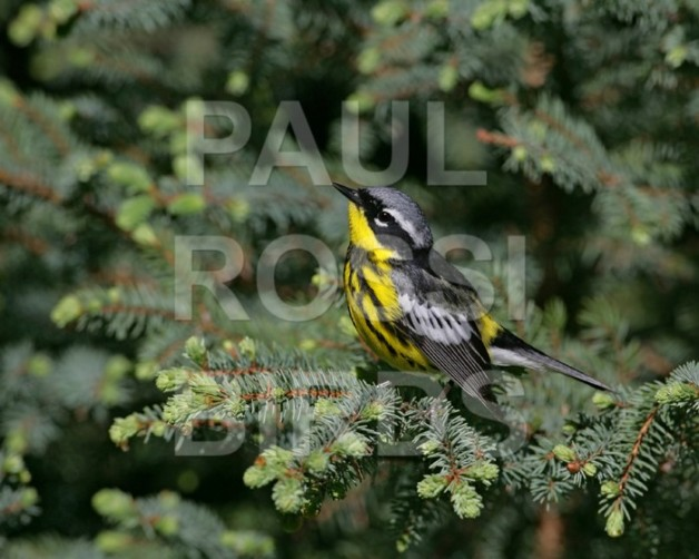 Male Magnolia Warbler in spruce 2