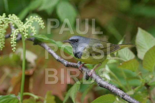 Male Mourning Warbler in spring forest