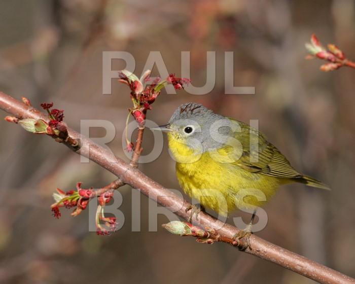 Male Nashville Warbler in flowering maple