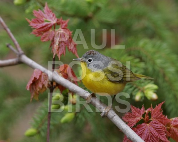 Male Nashville Warbler in Spring Color