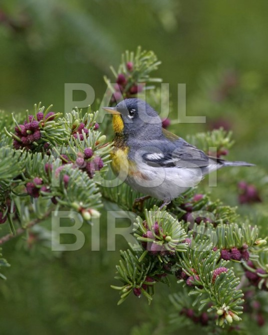 Male Northern Parula in spruce cones