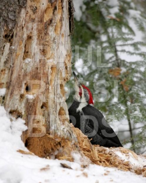 Male Pileated Woodpecker hiding