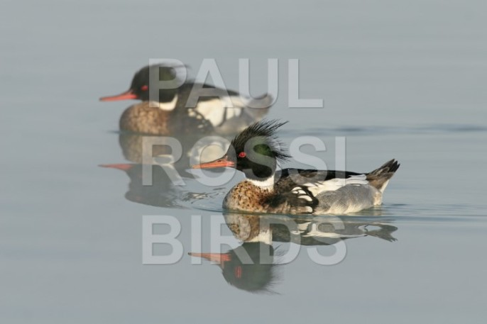 MALE RED-BREASTED MERGANSERS
