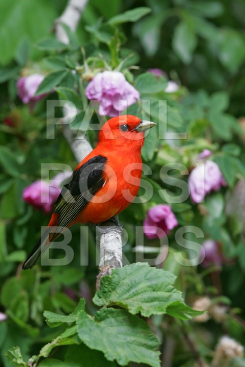 Male Scarlet Tanager in wild roses