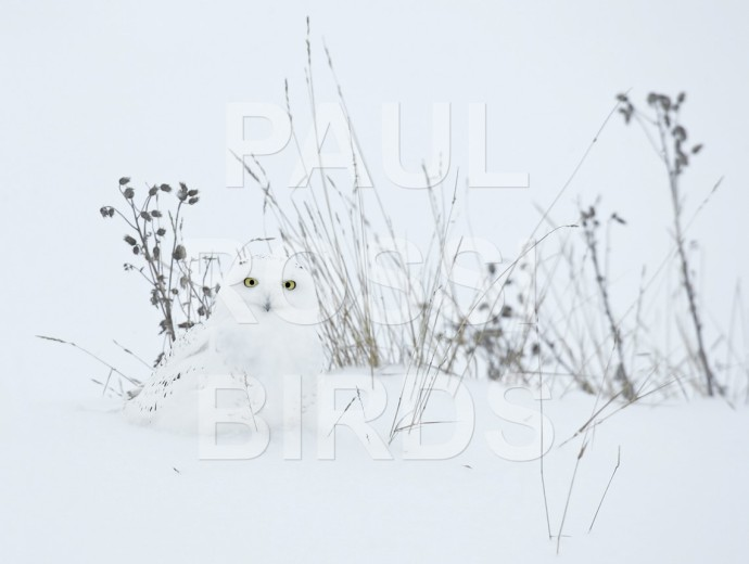 Male Snowy Owl Camoflouge