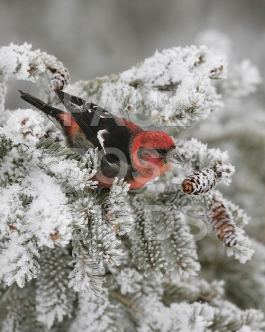 Male White-winged Crossbill in hoarfrost
