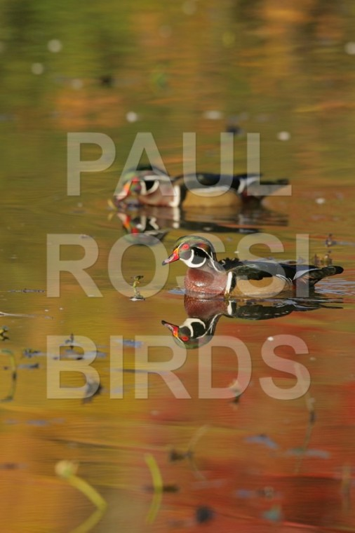 Male Wood Ducks on fall pond