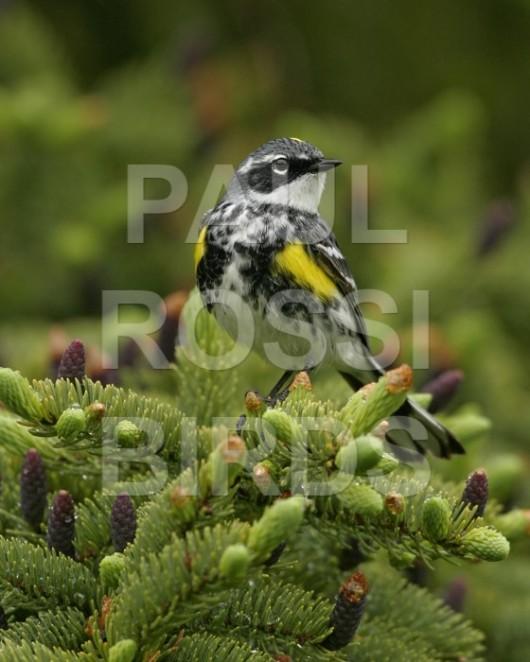 Male Yellow-rumped Warbler (myrtle) in spruce
